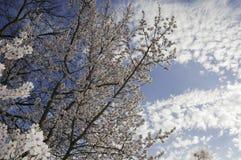 Czereśniowi kwiaty Czereśniowego drzewa kwitnienie Obraz Royalty Free