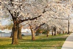 czereśniowi kwitnący alei okwitnięcia Zdjęcia Stock