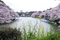 Czereśniowi okwitnięcia, żółty nanohana i paddle łodzie przy Chidorigafuchi fosą, Chiyoda, Tokio, Japonia Selekcyjna ostrość Obraz Stock