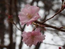 Czereśniowi okwitnięcia Cerasus «Maihime «przy Ueno parkiem obraz royalty free