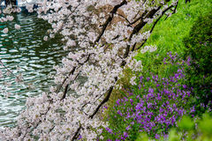Czereśniowi okwitnięcia i purpurowa wiosna kwitną przy Chidorigafuchi fosą, Chiyoda, Tokio, Japonia Obrazy Royalty Free