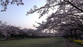 Czereśniowi okwitnięcia lub Sakura w pełnym kwiacie z ptakami tweet przy świtem zbiory wideo