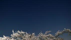 Czereśniowi okwitnięcia lub Sakura w pełnym kwiacie z ` s Wain Dużej chochli lub Charles zbiory
