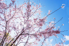 Czereśniowi okwitnięcia lub Sakura z niebieskim niebem Zdjęcie Royalty Free
