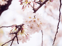 Czereśniowi okwitnięcia na drzewie w Japonia Fotografia Royalty Free
