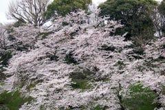 Czereśniowi okwitnięcia przy Chidorigafuchi fosą, Chiyoda, Tokio, Japonia w wiośnie Obraz Stock