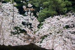 Czereśniowi okwitnięcia przy Chidorigafuchi fosą, Chiyoda, Tokio, Japonia w wiośnie Obrazy Royalty Free