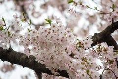 Czereśniowi okwitnięcia przy Chidorigafuchi fosą, Chiyoda, Tokio, Japonia w wiośnie Zdjęcie Stock