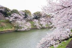 Czereśniowi okwitnięcia przy Chidorigafuchi fosą, Chiyoda, Tokio, Japonia w wiośnie Obraz Royalty Free