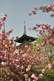 Czereśniowi okwitnięcia przy Chiny parkiem Zdjęcie Royalty Free