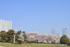 Czereśniowi okwitnięcia przy Rinko parkiem i Wysokim wzrosta kondominium w Yokohama Minatomirai 21 fotografia royalty free
