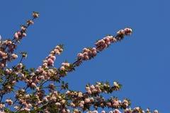 Czereśniowi okwitnięcia sylwetkowi przeciw błękitnemu wiosny niebu Zdjęcie Royalty Free