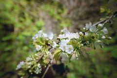 Czereśniowi okwitnięcia w ogródzie Wiosny kwiatonośny tło Zdjęcie Stock