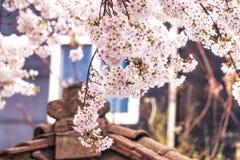 Czereśniowi okwitnięcia w Seoul południowy Korea obrazy stock