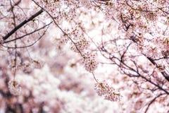 Czereśniowi okwitnięcia w Seoul południowy Korea fotografia royalty free