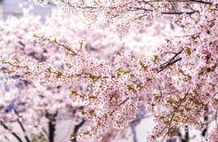 Czereśniowi okwitnięcia w Seoul południowy Korea zdjęcia royalty free