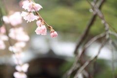 Czereśniowi okwitnięcia w Shuzenji świątyni fotografia royalty free