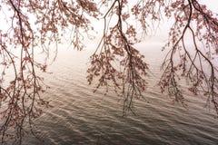 Czereśniowi okwitnięcia wiesza blisko jeziora Obrazy Stock