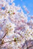 Czereśniowi okwitnięcia wiosna fotografia stock