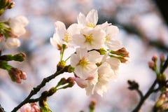 Czereśniowi okwitnięcia, wiosna, kwitnący drzewo, piękni kwiaty, nabrzmiewający pączki, Skaczą w Japonia, nowy życie, radość, dob Zdjęcia Royalty Free