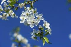 Czereśniowi wiosna kwiaty Fotografia Royalty Free