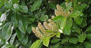 Czereśniowy bobek lub laurowa wiśnia, prunus laurocerasus, kwitnący drzewo w Normandy, Francja, zwolnione tempo zbiory