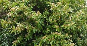 Czereśniowy bobek lub laurowa wiśnia, prunus laurocerasus, kwitnący drzewo w Normandy, Francja, zwolnione tempo zbiory wideo
