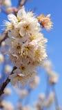 Czereśniowy drzewo, biali czereśniowi okwitnięcia w Nobeoka Miyazaki Japonia Obrazy Royalty Free