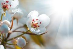 Czereśniowy drzewo podczas kwiecenia z pięknymi białymi kwiatami Obrazy Royalty Free