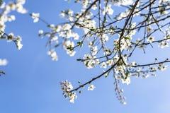 Czereśniowy drzewo w okwitnięciu przeciw jasnemu niebieskiemu niebu Zdjęcia Royalty Free