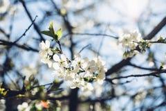 Czereśniowy drzewo w okwitnięciu przeciw jasnemu niebieskiemu niebu Fotografia Royalty Free