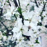 Czereśniowy drzewo Wiosna piękno przyjemność zdjęcie stock
