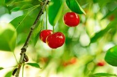 Czereśniowy drzewo z owoc zdjęcia royalty free