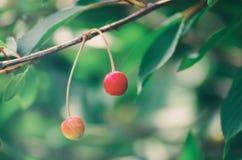 Czereśniowy drzewo z owoc obrazy royalty free