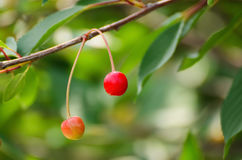 Czereśniowy drzewo z owoc fotografia royalty free