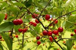 Czereśniowy drzewo Z udziałami wiśnie Zdjęcie Stock
