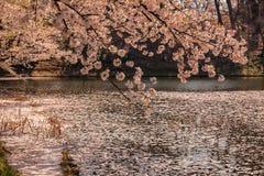 Czereśniowy dywan lub Hanaikada na stawie w Hirosaki parku, Aomori, Tohoku, Japonia obrazy stock