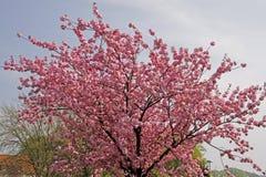 czereśniowy Germany japoński wiosna drzewo Zdjęcia Stock