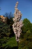 Czereśniowy kulebiak jest dekoracyjnym drzewnym kwitnieniem obficie z białymi kwiatami w wiośnie zdjęcie royalty free