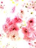 Czereśniowy kwiat na białym tle zdjęcie stock