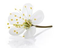 Czereśniowy kwiat na bielu zdjęcie royalty free