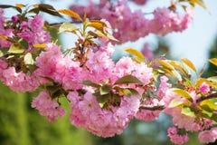 Czereśniowy kwiat, okwitnięcie przy wiosną Zdjęcia Royalty Free