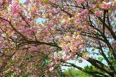 Czereśniowy kwiat, okwitnięcie przy wiosną Zdjęcia Stock