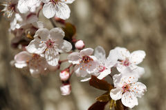 Czereśniowy kwiat, okwitnięcie przy wiosną Obrazy Stock