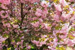 Czereśniowy kwiat, okwitnięcie przy wiosną Obraz Royalty Free