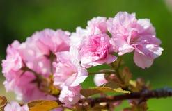 Czereśniowy kwiat, okwitnięcie przy wiosną Fotografia Royalty Free