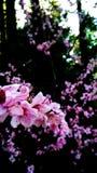 Czereśniowy kwiat w wiośnie Fotografia Royalty Free