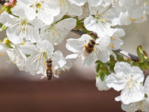 Czereśniowy kwiatu tło obrazy stock