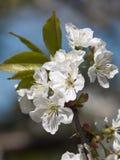 Czereśniowy kwiatu tło zdjęcia royalty free