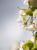 Czereśniowy kwiatu tło fotografia stock